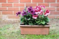 Ζωηρόχρωμα λουλούδια πελαργονίων στην πίσω αυλή στοκ εικόνες