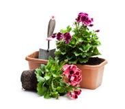Ζωηρόχρωμα λουλούδια πελαργονίων flowerpot που απομονώνεται στο λευκό Επαν στοκ φωτογραφία