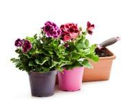 Ζωηρόχρωμα λουλούδια πελαργονίων flowerpot που απομονώνεται στο λευκό rea στοκ εικόνες