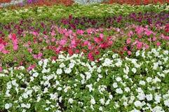 Ζωηρόχρωμα ζωηρόχρωμα λουλούδια πετουνιών flowerbeds, όμορφο υπόβαθρο Στοκ Εικόνα