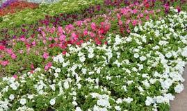 Ζωηρόχρωμα ζωηρόχρωμα λουλούδια πετουνιών flowerbeds, όμορφο υπόβαθρο Στοκ φωτογραφίες με δικαίωμα ελεύθερης χρήσης
