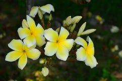 Ζωηρόχρωμα λουλούδια στη φύση Λουλούδι Plumeria Στοκ εικόνες με δικαίωμα ελεύθερης χρήσης