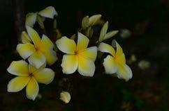 Ζωηρόχρωμα λουλούδια στη φύση Λουλούδι Plumeria Στοκ φωτογραφίες με δικαίωμα ελεύθερης χρήσης