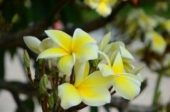 Ζωηρόχρωμα λουλούδια στη φύση Λουλούδι Plumeria Στοκ Εικόνες