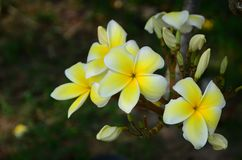 Ζωηρόχρωμα λουλούδια στη φύση Λουλούδι Plumeria Στοκ Εικόνα