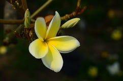 Ζωηρόχρωμα λουλούδια στη φύση Λουλούδι Plumeria Στοκ φωτογραφία με δικαίωμα ελεύθερης χρήσης