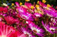Ζωηρόχρωμα λουλούδια στο βοτανικό κήπο Akureyri Στοκ εικόνα με δικαίωμα ελεύθερης χρήσης
