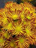 Ζωηρόχρωμα λουλούδια της Νίκαιας στον κήπο στοκ φωτογραφία με δικαίωμα ελεύθερης χρήσης