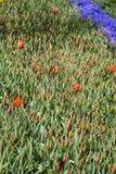 Ζωηρόχρωμα λουλούδια τουλιπών ως υπόβαθρο στον κήπο Στοκ φωτογραφία με δικαίωμα ελεύθερης χρήσης