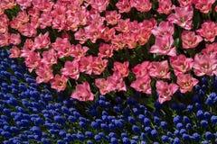 Ζωηρόχρωμα λουλούδια τουλιπών ως υπόβαθρο στον κήπο Στοκ Εικόνες