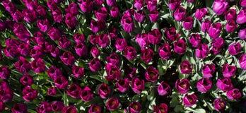 Ζωηρόχρωμα λουλούδια τουλιπών ως υπόβαθρο στον κήπο Στοκ εικόνα με δικαίωμα ελεύθερης χρήσης