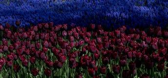 Ζωηρόχρωμα λουλούδια τουλιπών ως υπόβαθρο στον κήπο Στοκ Φωτογραφίες