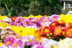 Ζωηρόχρωμα λουλούδια χρυσάνθεμων στον κήπο φεστιβάλ Στοκ φωτογραφίες με δικαίωμα ελεύθερης χρήσης