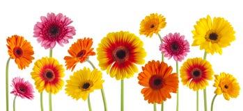 Ζωηρόχρωμα λουλούδια gerbera που απομονώνονται Στοκ εικόνα με δικαίωμα ελεύθερης χρήσης