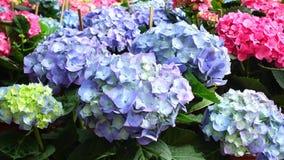 Ζωηρόχρωμα λουλούδια hydrangea απόθεμα βίντεο