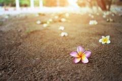 Ζωηρόχρωμα λουλούδια plumeria στο έδαφος Στοκ Εικόνες