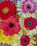 Ζωηρόχρωμα λουλούδια μαργαριτών Gerber Στοκ φωτογραφία με δικαίωμα ελεύθερης χρήσης