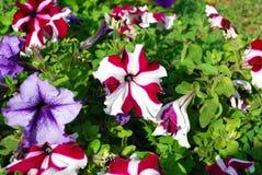 Ζωηρόχρωμα λουλούδια πετουνιών Στοκ Εικόνες
