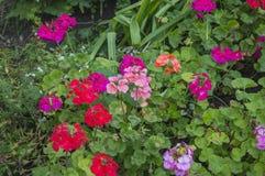 Ζωηρόχρωμα λουλούδια πελαργονίων κήπων Στοκ εικόνες με δικαίωμα ελεύθερης χρήσης