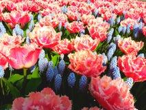 Ζωηρόχρωμα λουλούδια σε Keukenhof Στοκ Εικόνες