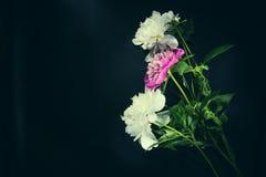 Ζωηρόχρωμα λουλούδια στο μαύρο υπόβαθρο - ζωηρόχρωμα peonies Στοκ φωτογραφία με δικαίωμα ελεύθερης χρήσης