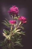 Ζωηρόχρωμα λουλούδια στο μαύρο υπόβαθρο - ζωηρόχρωμα peonies Στοκ εικόνα με δικαίωμα ελεύθερης χρήσης
