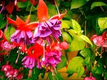 Ζωηρόχρωμα λουλούδια της Αλάσκας Στοκ Εικόνες