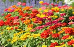 Ζωηρόχρωμα λουλούδια της Zinnia που ανθίζουν στον κήπο Στοκ εικόνες με δικαίωμα ελεύθερης χρήσης