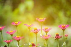 Ζωηρόχρωμα λουλούδια της Zinnia Στοκ εικόνα με δικαίωμα ελεύθερης χρήσης