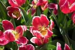Ζωηρόχρωμα λουλούδια τουλιπών με το όμορφο υπόβαθρο σε ένα φωτεινό SU Στοκ Εικόνες