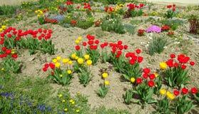 Ζωηρόχρωμα λουλούδια τουλιπών στον κήπο Στοκ Εικόνα