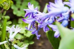 Ζωηρόχρωμα λουλούδια υάκινθων με τη μέλισσα μελιού Στοκ εικόνα με δικαίωμα ελεύθερης χρήσης