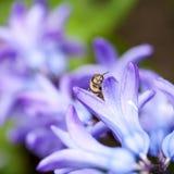 Ζωηρόχρωμα λουλούδια υάκινθων με τη μέλισσα μελιού Στοκ Φωτογραφίες