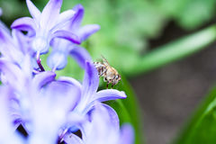 Ζωηρόχρωμα λουλούδια υάκινθων με τη μέλισσα μελιού Στοκ φωτογραφία με δικαίωμα ελεύθερης χρήσης