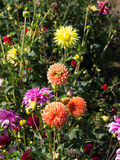 Ζωηρόχρωμα λουλούδια φθινοπώρου Στοκ φωτογραφίες με δικαίωμα ελεύθερης χρήσης