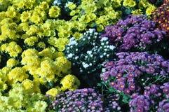 Ζωηρόχρωμα λουλούδια χρυσάνθεμων Στοκ φωτογραφία με δικαίωμα ελεύθερης χρήσης