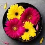 Ζωηρόχρωμα λουλούδια gerbera που επιπλέουν σε ένα μαύρο κύπελλο γκρίζα πέτρα ανασκόπησης Τοπ όψη διάστημα αντιγράφων Στοκ φωτογραφίες με δικαίωμα ελεύθερης χρήσης