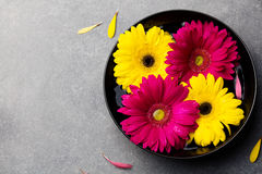 Ζωηρόχρωμα λουλούδια gerbera που επιπλέουν σε ένα μαύρο κύπελλο γκρίζα πέτρα ανασκόπησης Τοπ όψη διάστημα αντιγράφων Στοκ εικόνες με δικαίωμα ελεύθερης χρήσης