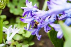 Ζωηρόχρωμα λουλούδια Hyacinthus υάκινθων orientale με τη μέλισσα Στοκ Εικόνα