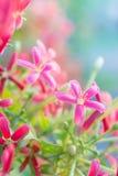 Ζωηρόχρωμα λουλούδια, Indica λουλούδια Quisqualis, λουλούδια Combretum Στοκ Εικόνα