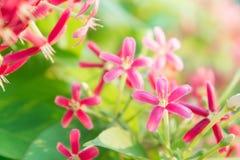 Ζωηρόχρωμα λουλούδια, Indica λουλούδια Quisqualis, λουλούδια Combretum Στοκ εικόνα με δικαίωμα ελεύθερης χρήσης