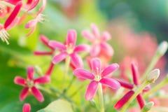Ζωηρόχρωμα λουλούδια, Indica λουλούδια Quisqualis, λουλούδια Combretum Στοκ εικόνες με δικαίωμα ελεύθερης χρήσης