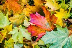 Ζωηρόχρωμα πεσμένα φύλλα σφενδάμου Στοκ εικόνες με δικαίωμα ελεύθερης χρήσης