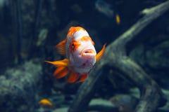 Ζωηρόχρωμα πορτοκαλιά ψάρια ενυδρείων στο σκοτεινό βαθύ μπλε νερό στοκ φωτογραφίες