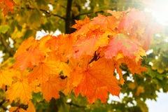 Ζωηρόχρωμα πράσινα, κίτρινα και κόκκινα φύλλα δέντρων φθινοπώρου που αλλάζουν τα εποχιακά χρώματα στοκ φωτογραφίες