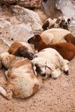 ζωηρόχρωμα πρόβατα Στοκ φωτογραφία με δικαίωμα ελεύθερης χρήσης