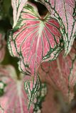 Ζωηρόχρωμα ρόδινα φύλλα του άλαλου καλάμων exotica υποβάθρου φύλλου Dieffenbachia σχεδίων αφηρημένου ρόδινου κατασκευασμένου Στοκ Εικόνες