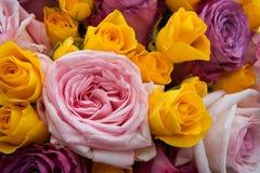 ζωηρόχρωμα τριαντάφυλλα ανασκόπησης Στοκ Φωτογραφία