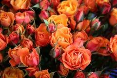 ζωηρόχρωμα τριαντάφυλλα Στοκ εικόνες με δικαίωμα ελεύθερης χρήσης