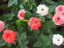 ζωηρόχρωμα τριαντάφυλλα Στοκ Εικόνες